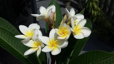 s320-プルメリアの花 (1).jpg
